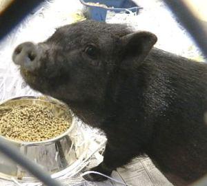 A194886 Piggy Sue