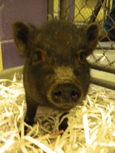 Piggy Sue (A194886)
