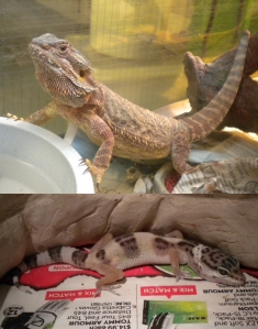Top:  Pat the Bearded Dragon Bottom:  Terry the Gecko