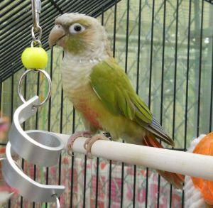 Chick Pea (A204063)