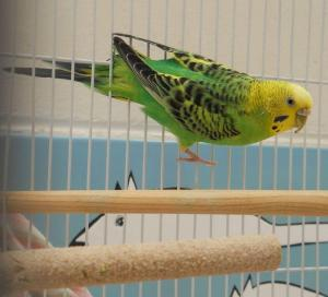 Budgie (A206877)