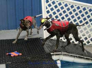 Marco and Scooter had a blast recently at Alaska K9 Aquatics, who donates time to shelter dogs!