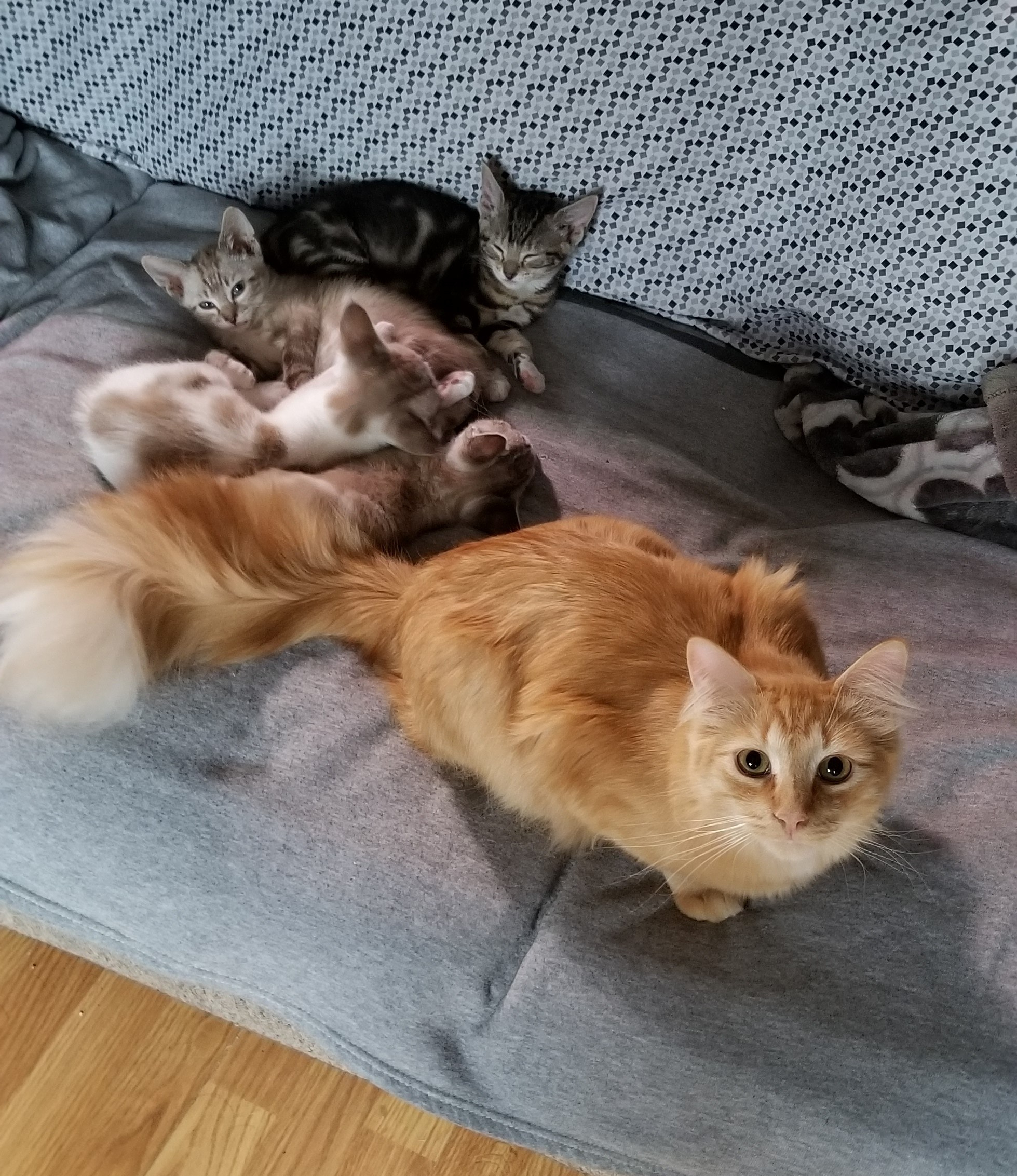 Ducky with foster kittens_2